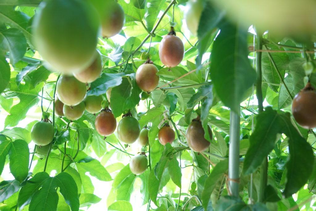 睦サト村のパッションフルーツ